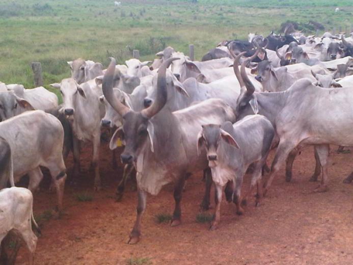 Guzerat Cow In Brazil by Fabio Dias