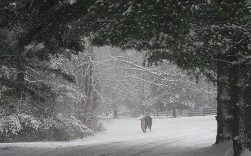 Hereford Winter