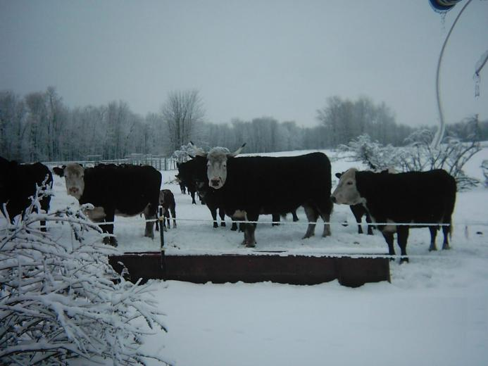 Lake Effect Snow and My Cattle
