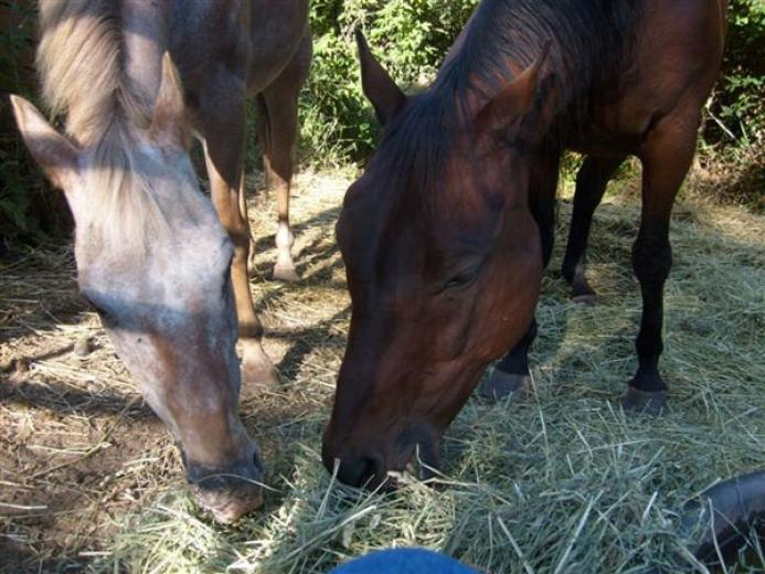 Missy and JayTee Sharing Hay by Loyce Gilpin