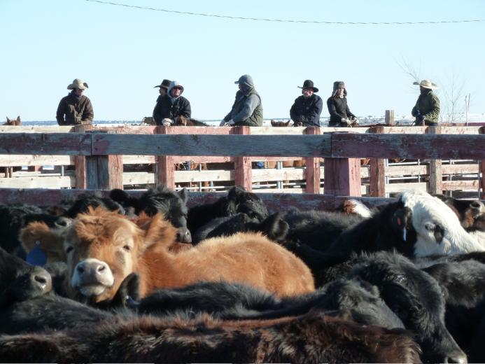 Shipping Steers