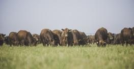 Bulls on pasture