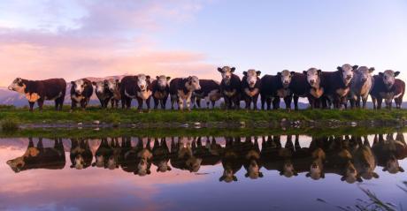 9-20-21 beef cattle 1.jpg
