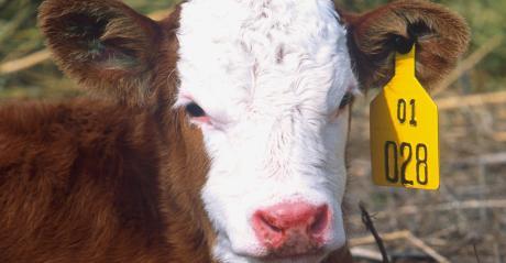 WFP=ARS-calves.jpg