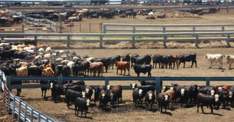 Cattle in feedlot