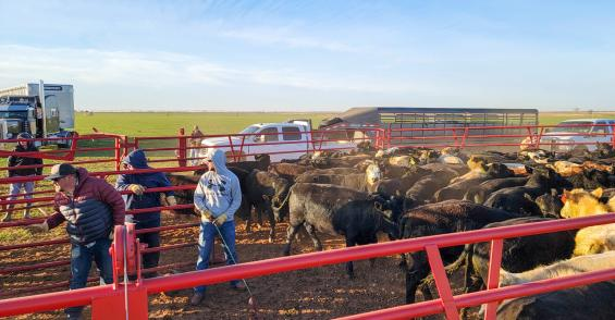 Load'em up: From pasture to feedyard