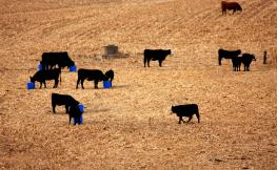 Cows grazing corn stalks