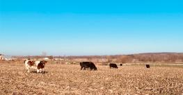 cattle grazing in dead cornstalk field with cover crops