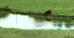 Cow drinking from a pond on Missouri Governor Parson's farm.