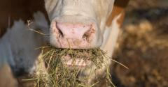 cow's nose and mouth, eating hay closeup