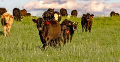 cattle in grassy field