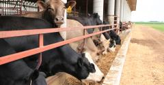 beef cattle at trough