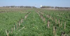 On this 27-acre plot, Greg Whitmore has three replications of cover crops, and four without. Cover crop mixes typically include forage radish and cereal rye