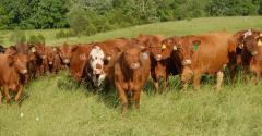 Cows on well-managed pasture