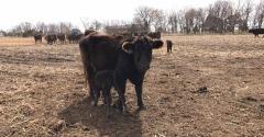 Late calvers