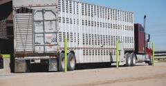 Marketing beef cattle during recession