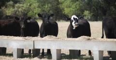 Cattle on feed