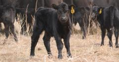 When is the best time for calving?