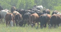 Antibiotic-free cattle on pasture