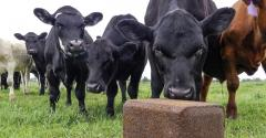 Cattle licking mineral block