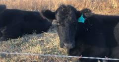 Cow lease agreements