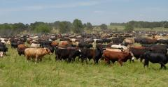 Large herd of steers