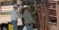 processing cattle