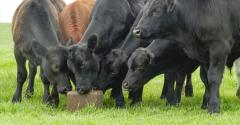Cattle-Angus-Steers-Getty-Images-Stockphoto-1125694574.jpg