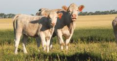 Cow calf pair on pasture