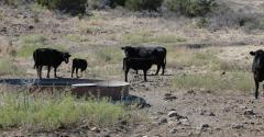 cattle at water tank