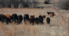 Cows grazing pasture
