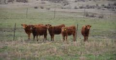 Composite heifers at Fort Keogh