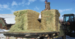 Nitrate poisoning in hay