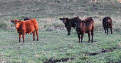 Calf health