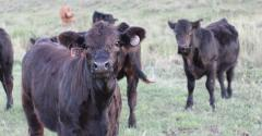 Cattle and climate