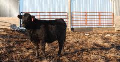 Habits of successful cattlemen