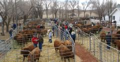 Cattlemen at a bull sale