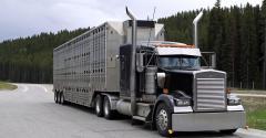 livestock truck hauling cattle