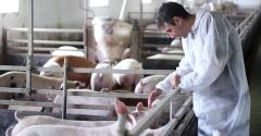 vet with pigs
