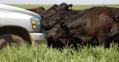 Black cows grazing tall grass
