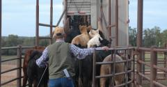 Loading cattle
