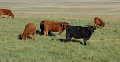 Bred heifers enjoy summer grazing