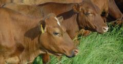 Smaller cows, more profit