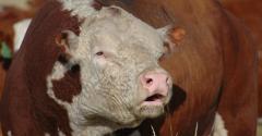 beef-bull-cattle-genetics-olsen-ranch044_0.jpg