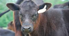 Keeping beef cattle healthy