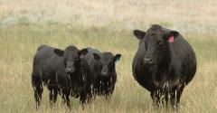 Black cow with twins