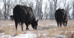 Wintering open cows