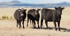 Drought stressed pasture