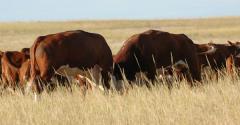 Bulls in pasture