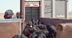 Marketing beef cattle